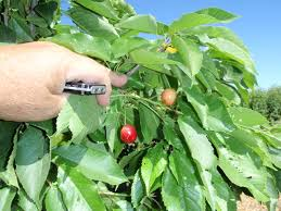 xtremehorticulture of the desert sweet cherries are hit and miss