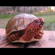 Tortoise Meme - wisconsin turtle and tortoise society home facebook