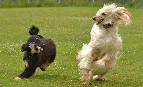 owning an afghan hound keshet kennels rescue breed spotlight afghan hounds keshet