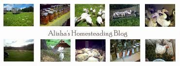 alisha u0027s homesteading blog growing black oil sunflower seed