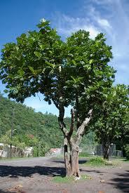 List Of Tropical Plants Names - artocarpus altilis images useful tropical plants