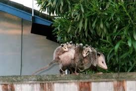 Possum In My Backyard Opossums Infringing On Dogs U0027 Territory U2013 The Mercury News