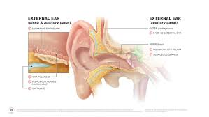 Ear Anatomy Pictures Ear Anatomy Medical Illustrations U2014 Campbell Medical Illustration