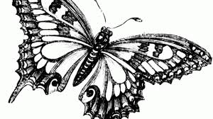 black and white butterfly drawing butterfly drawing black and