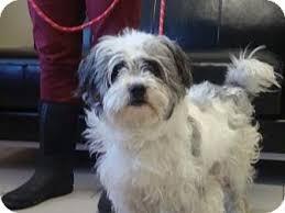 bichon frise fluffy fluffy adopted dog a21742685 philadelphia pa bichon frise