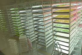 future appears bright for indoor veggie farms the japan times