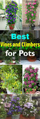 fast growing native plants 24 best vines for containers climbing plants for pots balcony