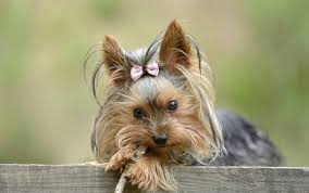 bichon frise vs yorkie how many puppies does a teacup yorkie have dog care the daily