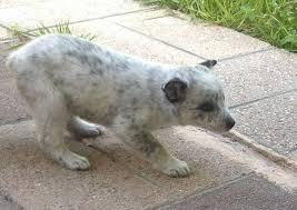 australian shepherd qld 11 best dogs images on pinterest australian cattle dog blue