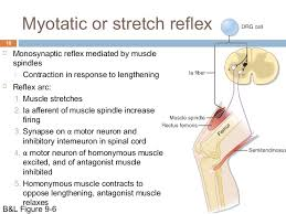 Knee Reflex Arc Muscle Senses Reflex Organization