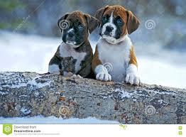 2 female boxer dogs together dog sunbathing royalty free stock photo image 36698885
