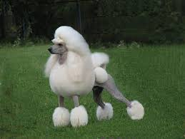 standard poodle hair styles pictures of outrageous poodle haircuts