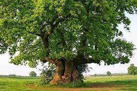 european culture oaks