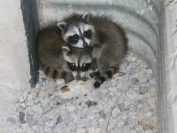 Raccoons In Backyard Baby Raccoons In The Chimney The Complete Guide To Humane Removal