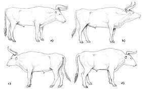 the breeding back blog new anatomical sketches of aurochs bulls