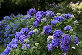 purple hydrangea when to prune different kinds of hydrangeas
