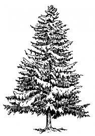 spruce tree illustration clipart free stock photo public domain