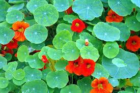 nasturtium flower nasturtium by the gardening