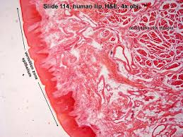 Orbicular Oris Slide 114 Monkey Lip H U0026e 4x Obj Oral Mucosa Submucosa Salivary