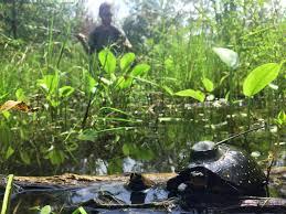 ohio native turtles toledo zoo conservation