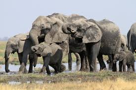 africa s great elephant census one year on office of media