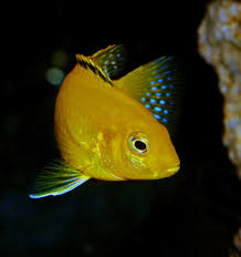free images tropical africa blue yellow fish fauna fin