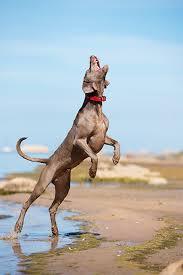 weimaraner vs afghan hound weimaraner dog breed information pictures characteristics