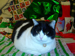 cat christmas wrapping paper cat with christmas wrapping paper picture free photograph