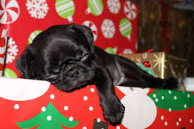 cute dog christmas wallpapers pug wallpaper screensaver background cute pug puppy christmas