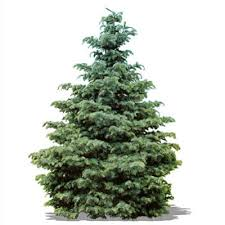 real christmas trees shop all types of real christmas trees the home depot