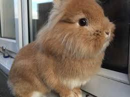 lion heads for sale lionhead rabbits for sale in falkirk pets4homes