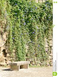climbing plant on stone wall stock photo image 82358272