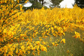 native northern california plants programs natural resources weeds and invasives blm control
