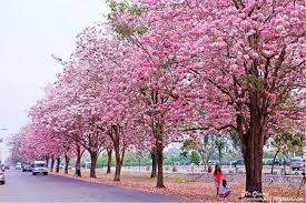 trees with pink flowers colourful chomphu phanthip trees at kasetsart thai