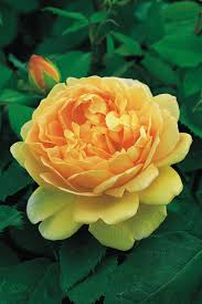 the most popular english roses in america hgtv