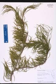 florida native aquatic plants taxodium ascendens species page isb atlas of florida plants