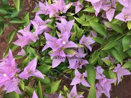 10 most common road side flowers in india