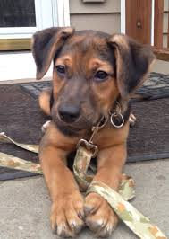 sims 3 australian shepherd buddy a 2 month old german shepherd and coonhound mix i love