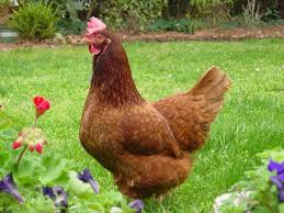 Best Backyard Chickens by How To Start Raising Backyard Chickens In 7 Simple Steps