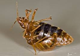 Do Bed Bugs Jump From Person To Person 6 Horrific Realities Of Living With A Bedbug Infestation