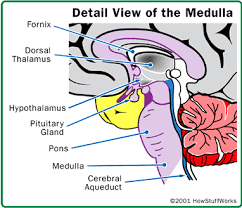 Thalamus Part Of The Brain Parts Of The Brain How Does The Brain Create An Uninterrupted