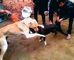 american pitbull terrier illegal vile dog fights come to delhi illegal bloodsport sweeps the
