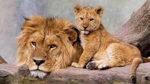 and lion father and son hd wallpaper for laptop