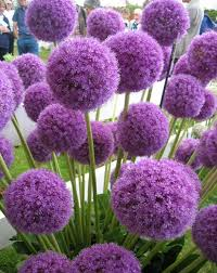 allium flowers alliums autumn planting bulbs plants and more