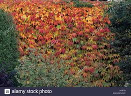 parthenocissus tricuspidata on wall with shrubs boston ivy stock