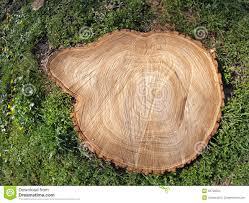fresh cut tree stump stock photo image of background 52730034