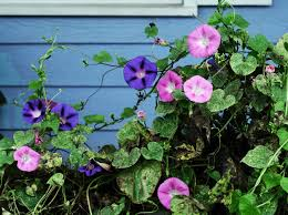morning glory vine morning glory vine click in image to see