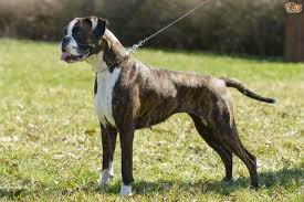 boxer dog reverse brindle boxer dog breed information buying advice photos and facts