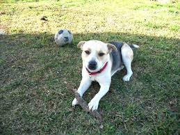 australian shepherd and beagle mix beagle pitbull rottweiler mix photo happy dog heaven
