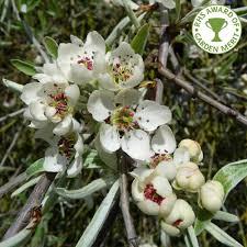 pyrus salicifolia pendula ornamental weeping silver pear trees